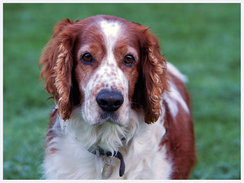 Welsh Springer Spaniel | Dog Photographer Sussex | Rachael Edwards
