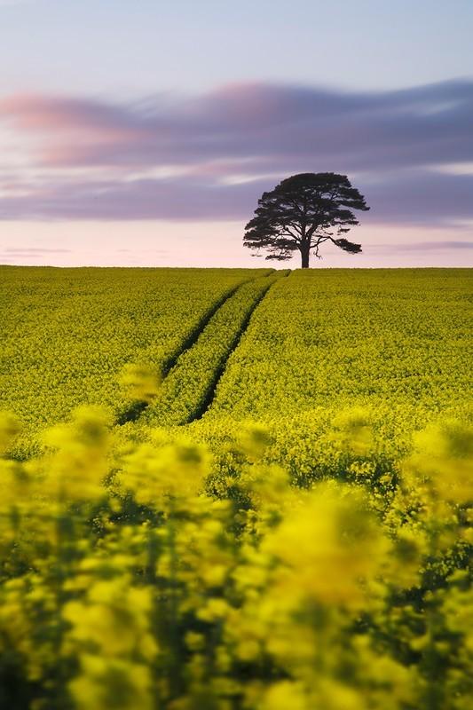 Merton Rapeseed - Devon Landscapes
