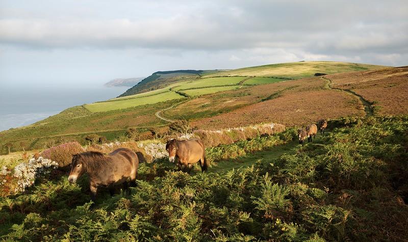 Exmoor Ponies - Exmoor