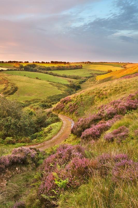 On Exmoor Heather - Exmoor
