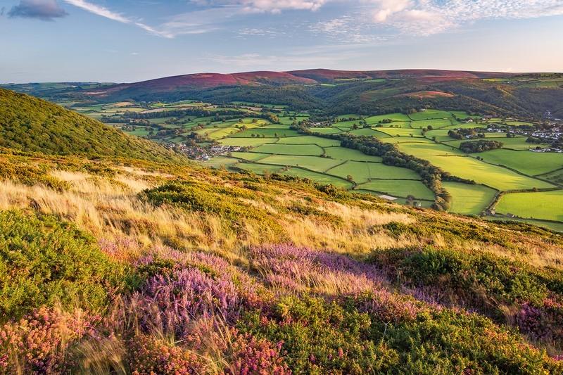 Bossington Hill Heather Landscape - Exmoor