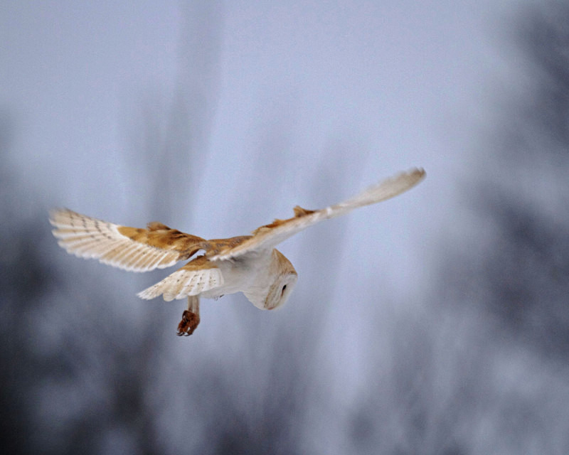 Barn Owl in Flight - Barn Owls
