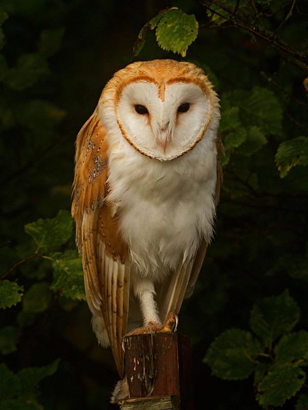 Barn Owl perched on a post - Barn Owls