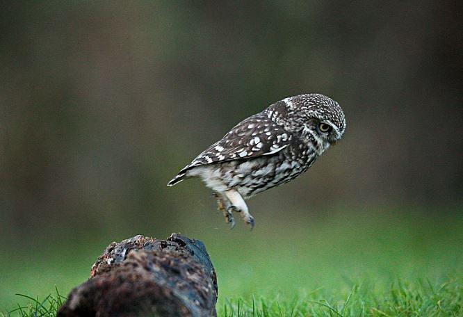 Little Owl - Little Owls