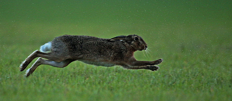 Brown Hare running - Hares