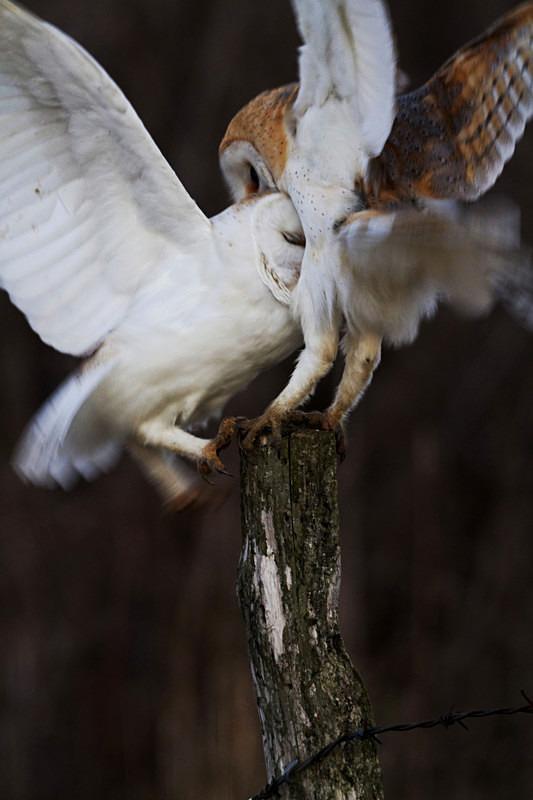 Barn Owls Fighting - Barn Owls