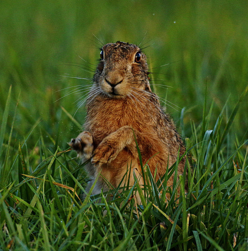 Brown Hare - Hares