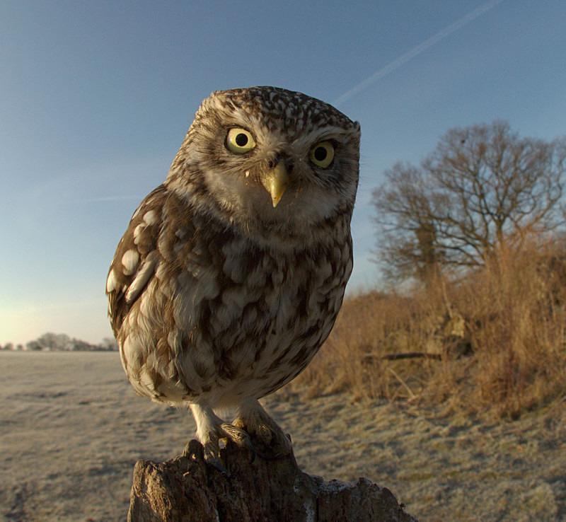 Litle Owl - Little Owls