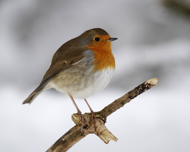 Robin in the snow - Anything Else!