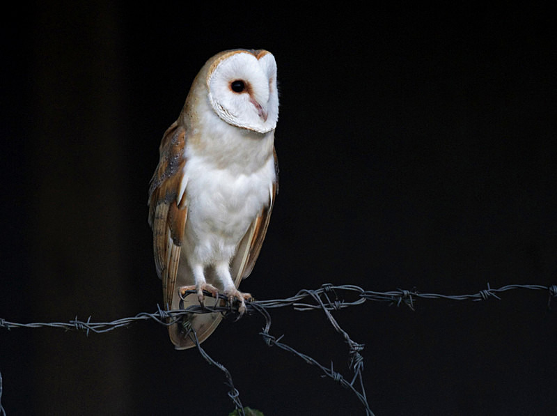 Barn Owl Perched on barbed wire - Barn Owls