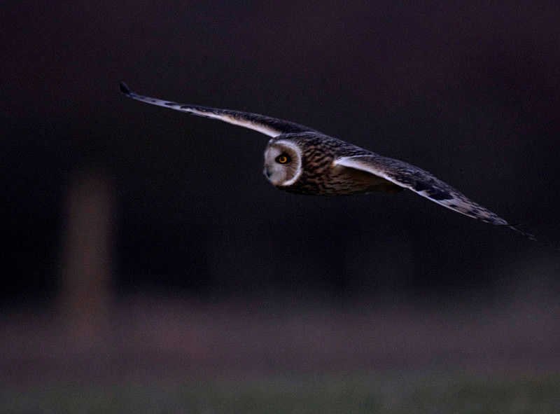 Short Eared Owl flying - Short Eared Owls