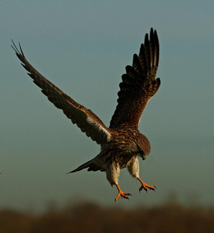 Kestrel landing at Stow Maries Aerodrome wildlife photography Russell Savory
