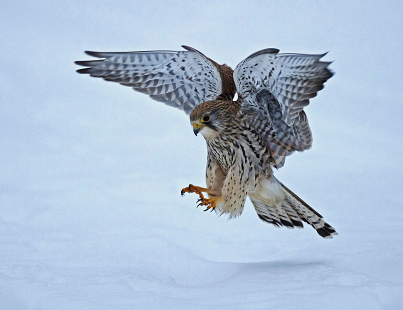 Kestrel landing in the snow at Stow Maries Aerodrome wildlife photography Russell Savory