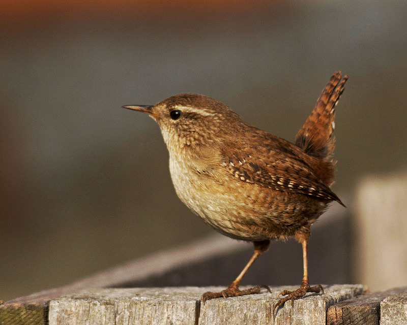 Wren - Anything Else!
