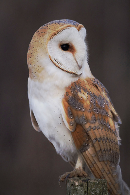 Barn Owl perched on a post - Barn Owls