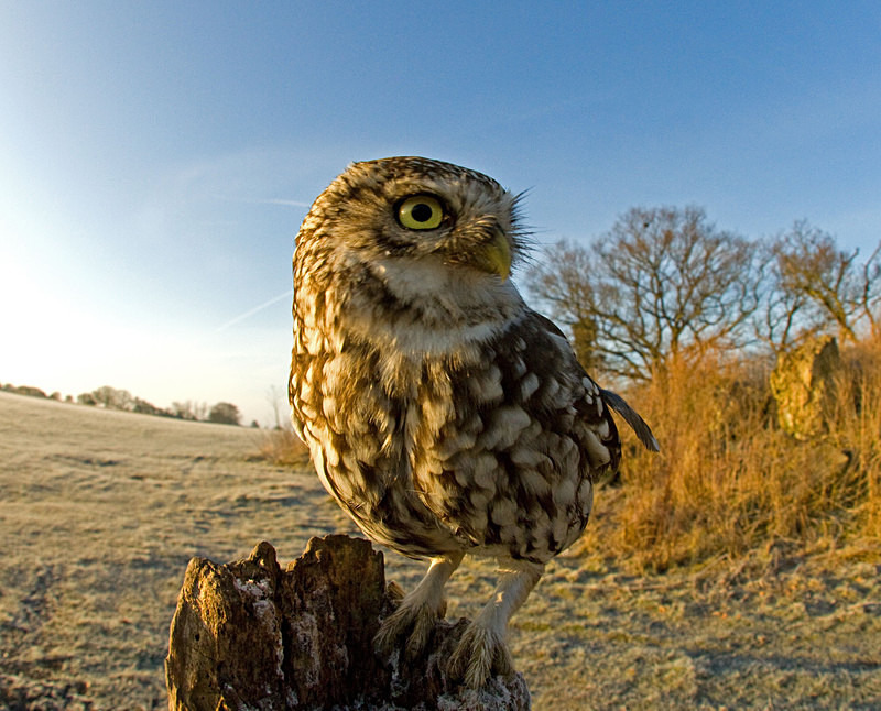 Little Owl - Little Owls