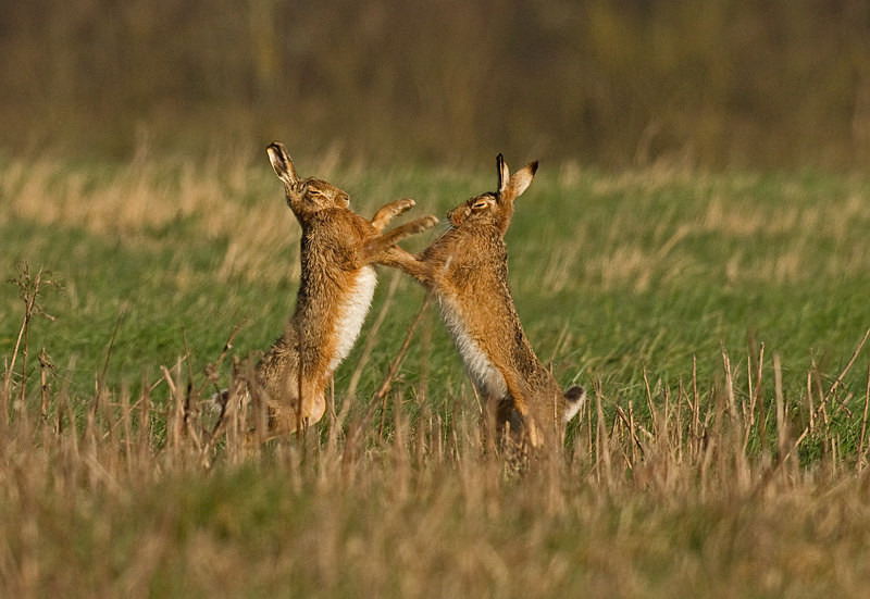 Brown Hares boxing - Hares