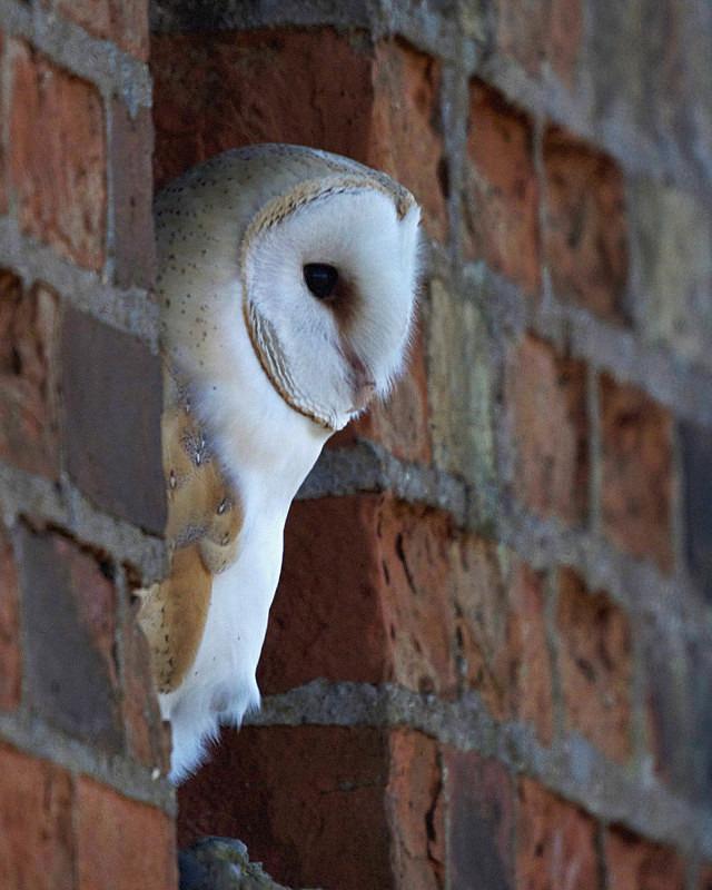 Barn Owl perched in a window - Barn Owls