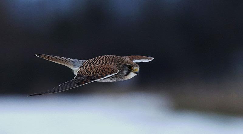 Kestrel Flying - Kestrels
