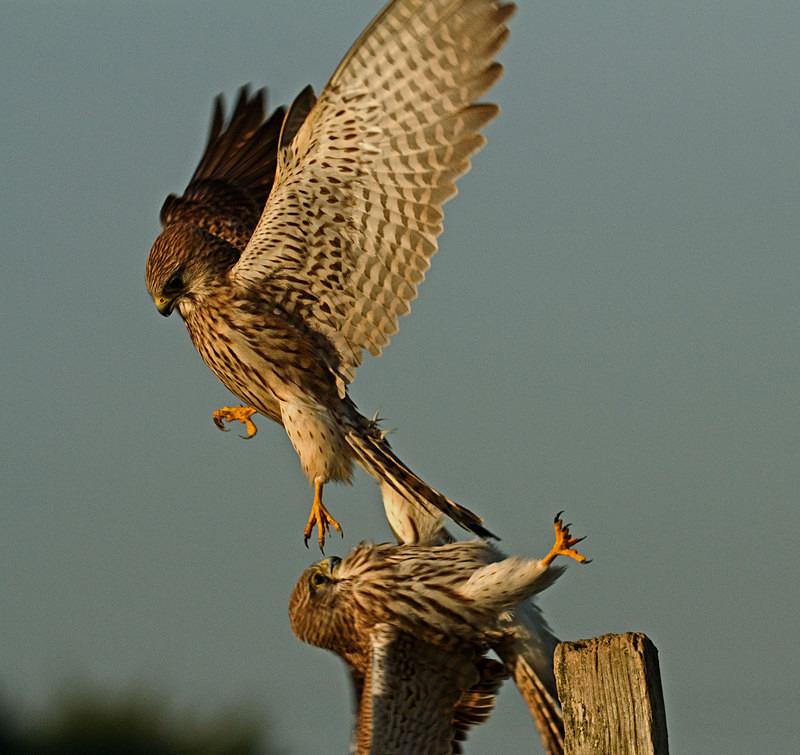 Two kestrels fighting - Kestrels
