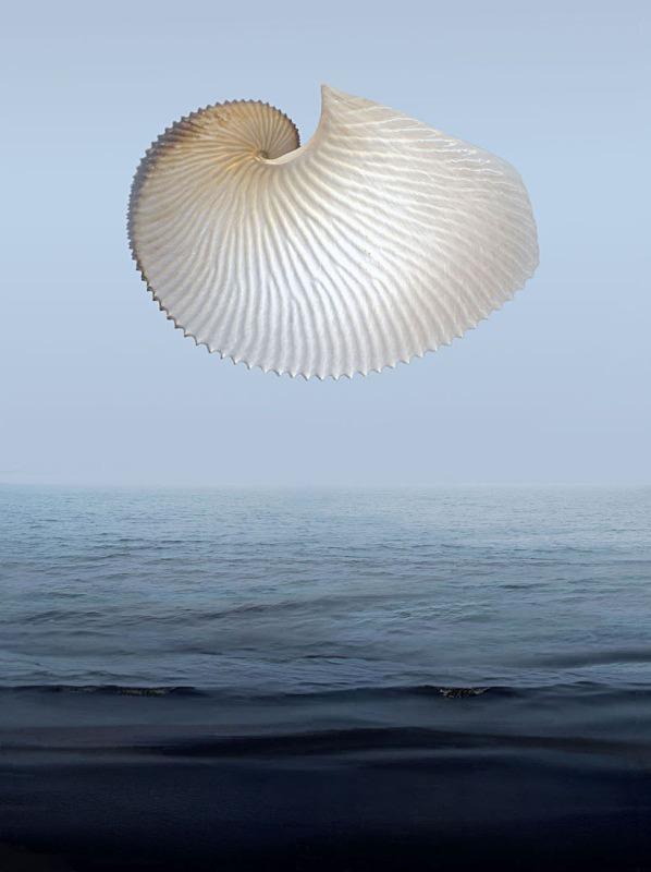 Argonaut - Ocean Shell