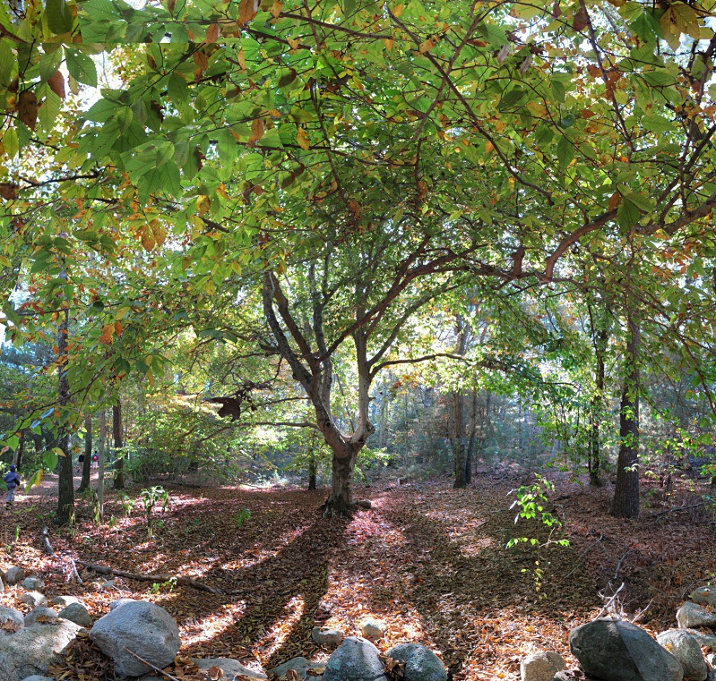 Fairy Light, Beebe Woods - Falmouth - New England Woods