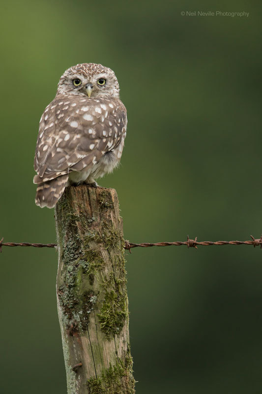 - Little Owl