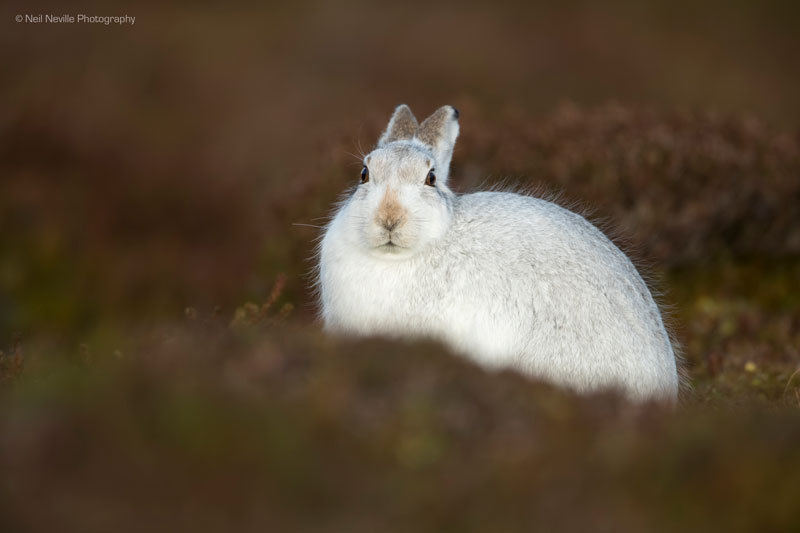 - Mountain Hare
