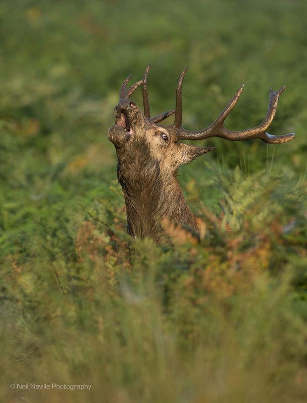 - Red Deer