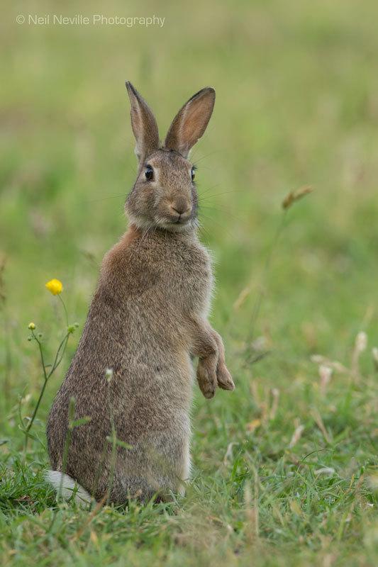 - Wild Rabbit