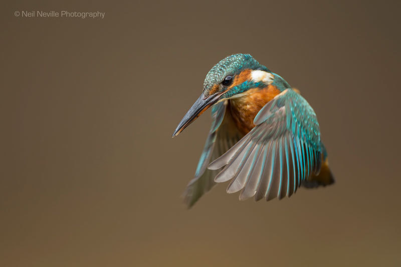 - Kingfisher
