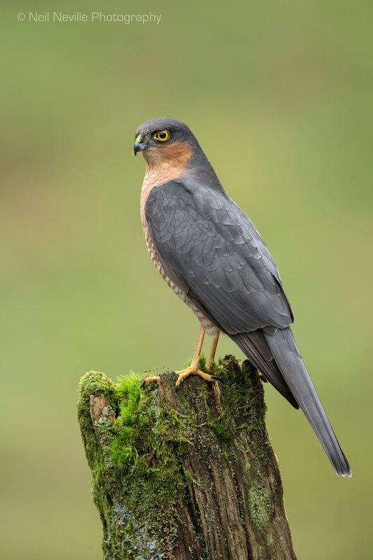- Sparrowhawk