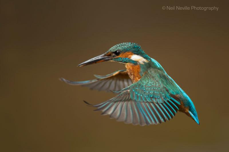 - Kingfisher