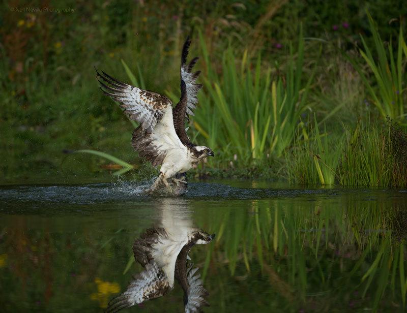 - Osprey