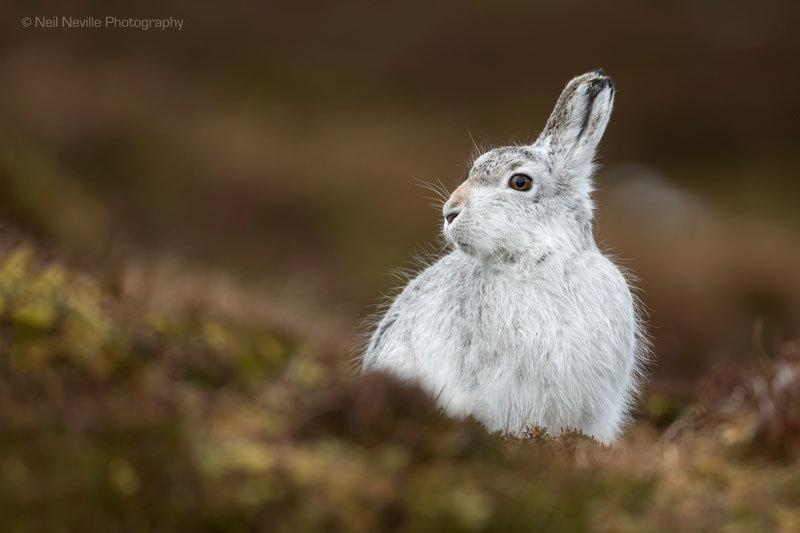 - Mountain Hare