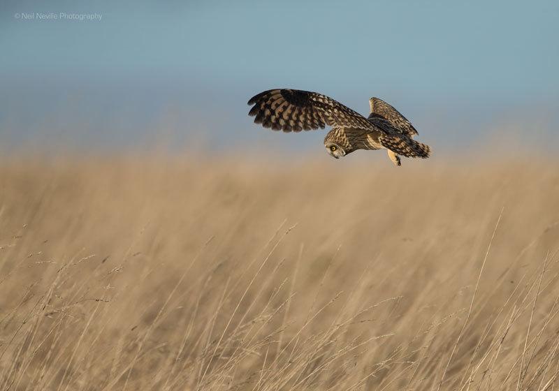 - Short Eared Owl