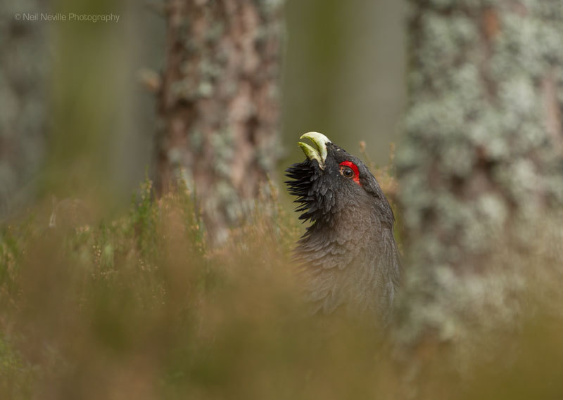 - Capercaillie