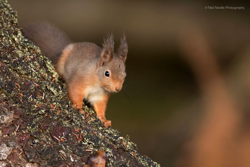 - Red Squirrel