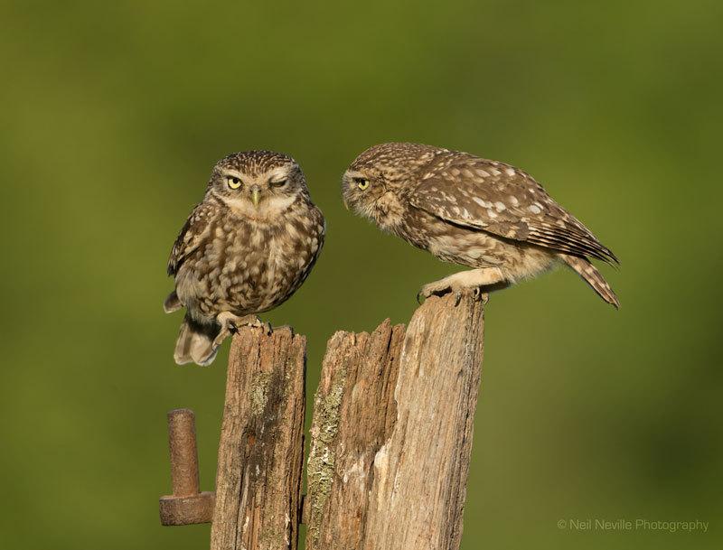 - Little Owl
