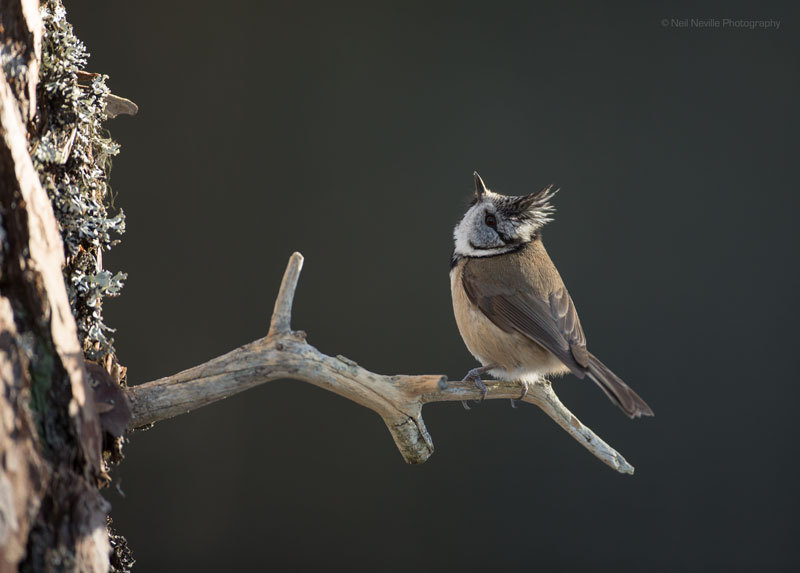 - Crested Tit