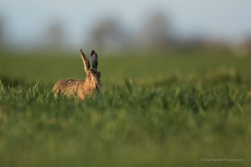 - Brown Hare