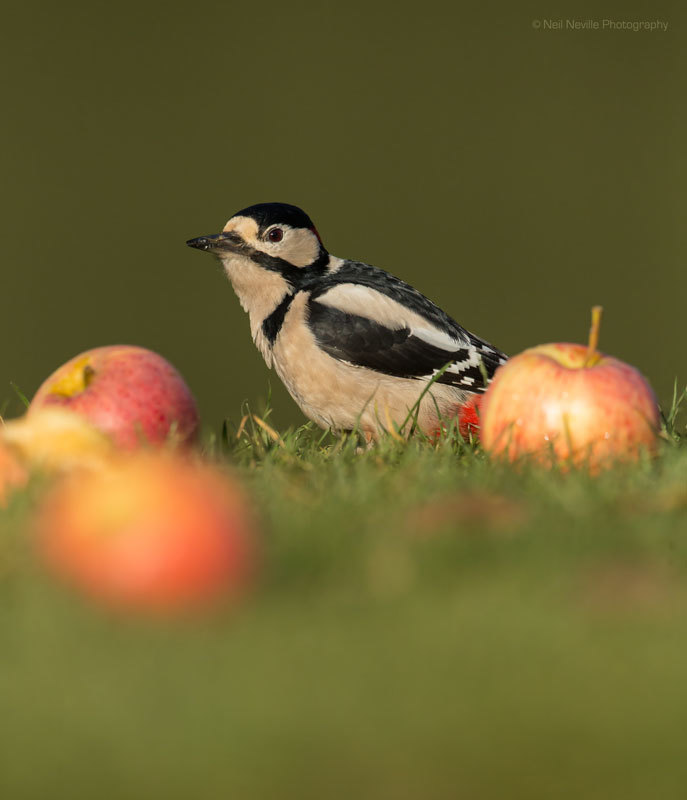 - Woodpeckers & Nuthatch