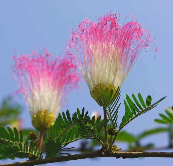 Shuttlecock flower, Assam - India (Assam, Brahmaputra cruise, Agra and Jaipur)