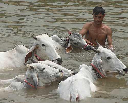 Buffalo bath time - Cambodia and Vietnam
