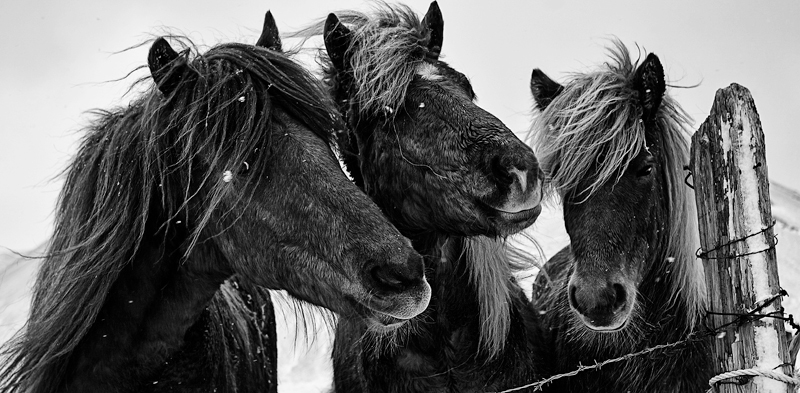 Icelandic Ponies - New Work