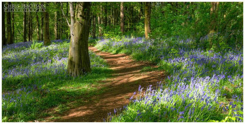 Pathway Through the Bluebells, Portglenone