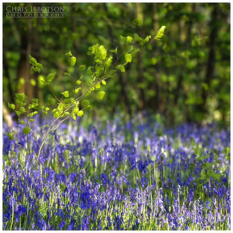 Bluebells Portglenone