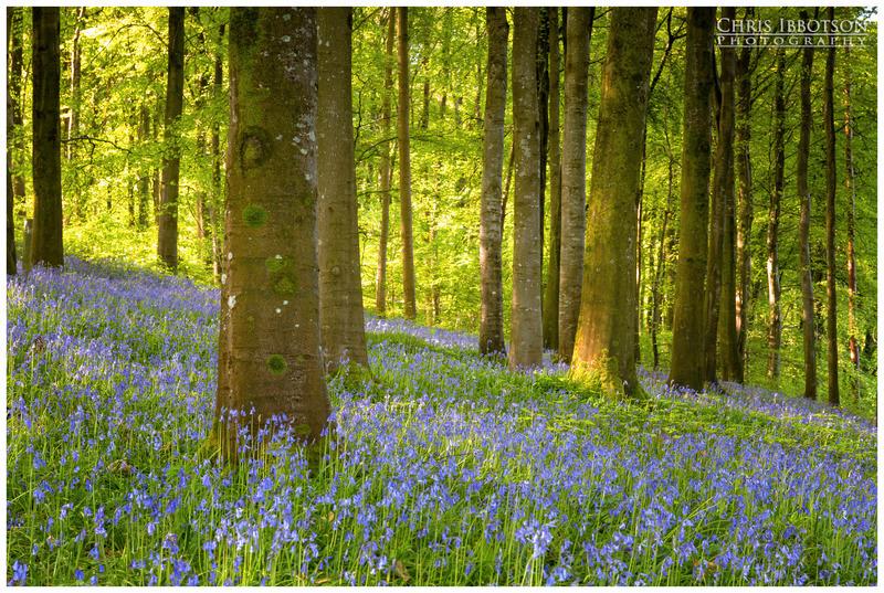 Bluebell Carpet, Portglenone Forest