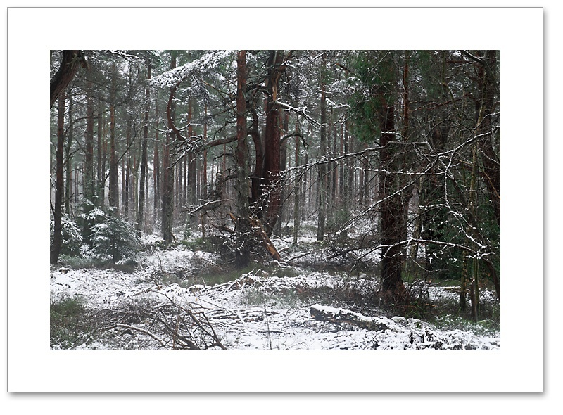 Red on White, Devilla Forest, Fife