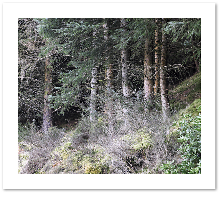 Cluster, Atholl Woods, Dunkeld, Perthshire